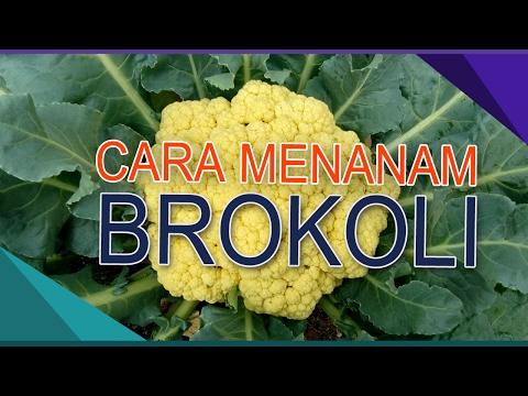 Video Cara menanam Brokoli yang Baik Oleh Toto HS