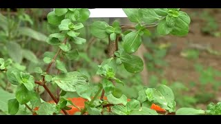 Nathai Soori  -  Best cure for skin rashes herb at your home | Poovali | News7 Tamil