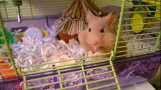 Cali   Cute Hamster Storing Food