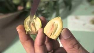 Pecan Nut Maturation