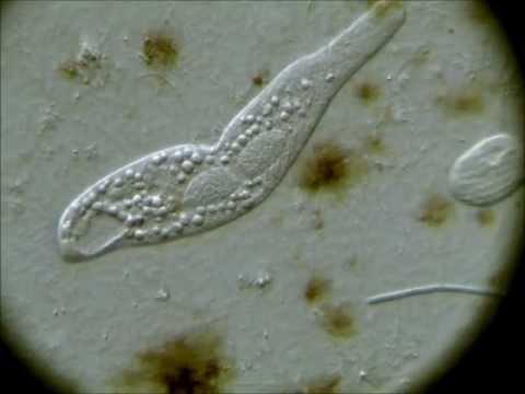 Parazita profilaktikus gyógyszerek