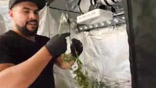 Trimming Our Cannabis And Hanging It In A Drying Rack