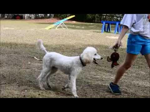 Sassy Mid size AKC Standard Poodle