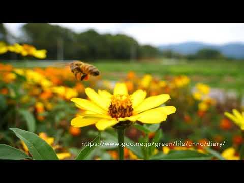 花壇のミツバチ、GH5 13.3%スロー