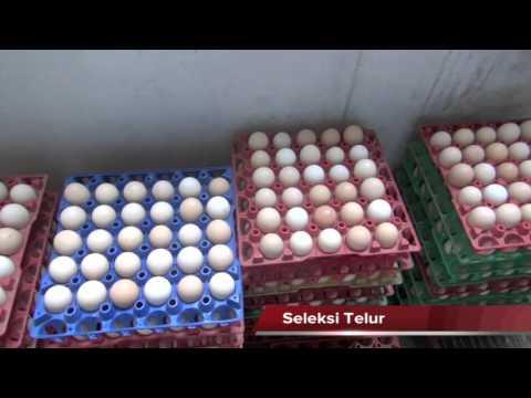 Video Manajemen Pemeliharaan Ayam KUB