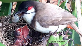 Baby birds Goes Crazy after Eating OVER-SIZED GRAPES in Bananas | birds nest | Bird videos | bulbul