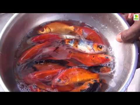 , title : 'Freshwater Fish - Koi Fish Farm and is High Profitable Business in the World