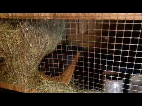 В крольчатнике,муж снимает и что получилось.