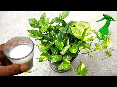 , title : 'Best natural liquid fertilizer for plants , specially money plants