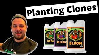 Planting Clones- First Advanced Nutrients Feeding-