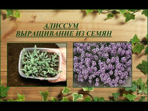Алиссум (лобулярия) - посев, выращивание, уход