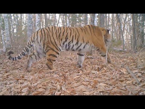 GLOBALink | Tracing Siberian tigers in NE China
