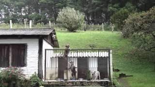 Buldogue Campeiro - Apollo.m4v