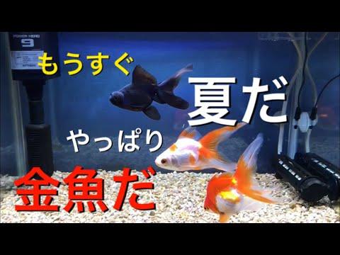 【アクアリウム 熱帯魚】もうすぐ夏 金魚です