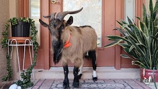The Most Protective Pet Goat EVER!