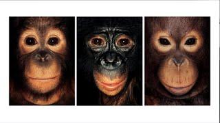 Domstol slår fast: Chimpanser har ikke ret til frihed