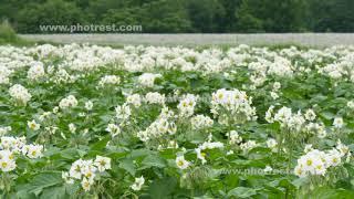 夏のジャガイモ畑
