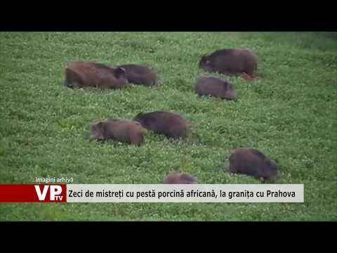 Zeci de mistreți cu pestă porcină africană, la granița cu Prahova