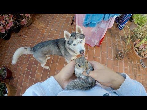 Cute Overload: Husky Meets Baby Squirrel
