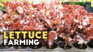 How to grow lettuce in the Philippines   Agribusiness How It Works