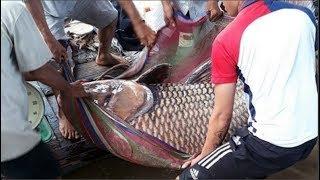 Ngày mưa lũ, dân làng bắt được cá chép 180kg đem gi.ế.t th.ị.t. Khi mổ cá chuyện không ai ngờ xảy ra