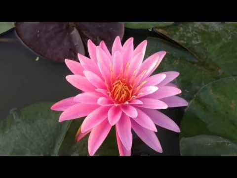 บัว passion of pink 2013