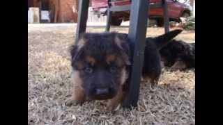 Caelo Puppies