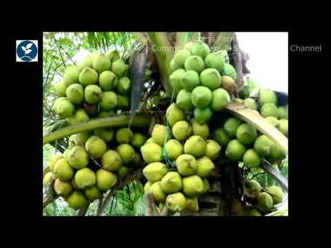 কিভাবে হাইব্রিড নারকেল চাষ করবেন, How to cultivate hybrid coconut.