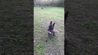 Belgian Shepherd Dog (Malinois) Puppies Videos