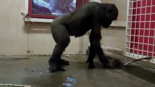 Break Dancing Gorilla Video