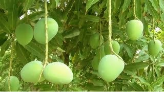 Mango Farm Maintenance - Free video search site - Findclip