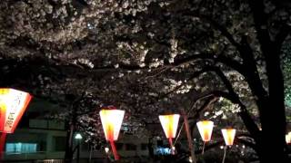 Cherry blossoms at night in Nakameguro