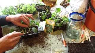 How and When to Seed Start Kale & Collard Greens Indoors: Cool Weather - The Rusted Garden 2014
