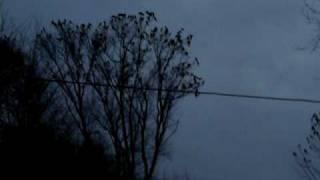 preview picture of video 'Infestacion de Cotorras Monje (Cotorra Argentina) - Infestation of Monk Parakeet (Quaker Parrot)'