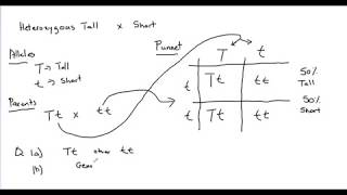 Genetics Monohybrid Cross - Solving Genetics Problems With Punnett Square