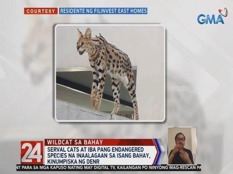 [GMA]  24 Oras: Serval cats at iba pang endangered species na inaalagaan sa isang bahay, kinumpiska ng DENR