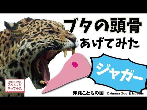 スタッフがやってみた!【ジャガーのハクにブタの頭骨あげてみた!】