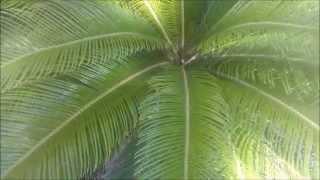 Cica ou Palmeira sagu