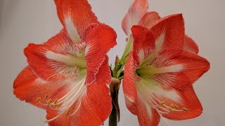 How to get your Amaryllis to re-bloom next Christmas