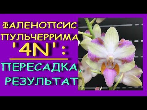 ОРХИДЕЯ:пересадка+РЕЗУЛЬТАТ.Фаленопсис Pulcherrimа'4N' (Пульчеррима) в размере 1.7,пересадка из мха.