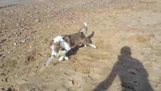 Disel jugando en la playa para perros del Puig