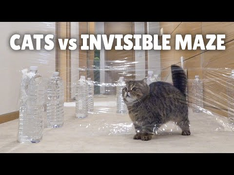 Can Cats Solve This Invisible Maze?