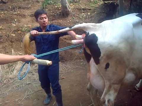 Video Distokia pada sapi perah 5