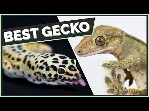 Crested Geckos VS Leopard Geckos: Which Are Better? Mp3