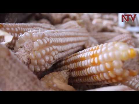 Government urged to intervene and stop maize price crash