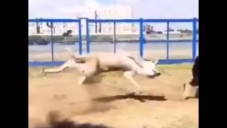 santo dog