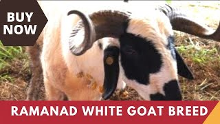 Ramanad White Goat -  a goat breed from Tamilnadu