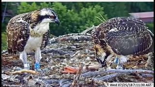 Dunrovin Ranch Osprey Nest Video_2018-07-25_093305-HARRIET W LG FISH..HAL W LEFTOVER FISH~PICDC5