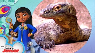 Komodo Dragon | Disney Animals: Look Closer with Mira! |  @Disney Junior