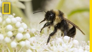 Saving Bumblebees Became This Photographers Mission | Short Film Showcase